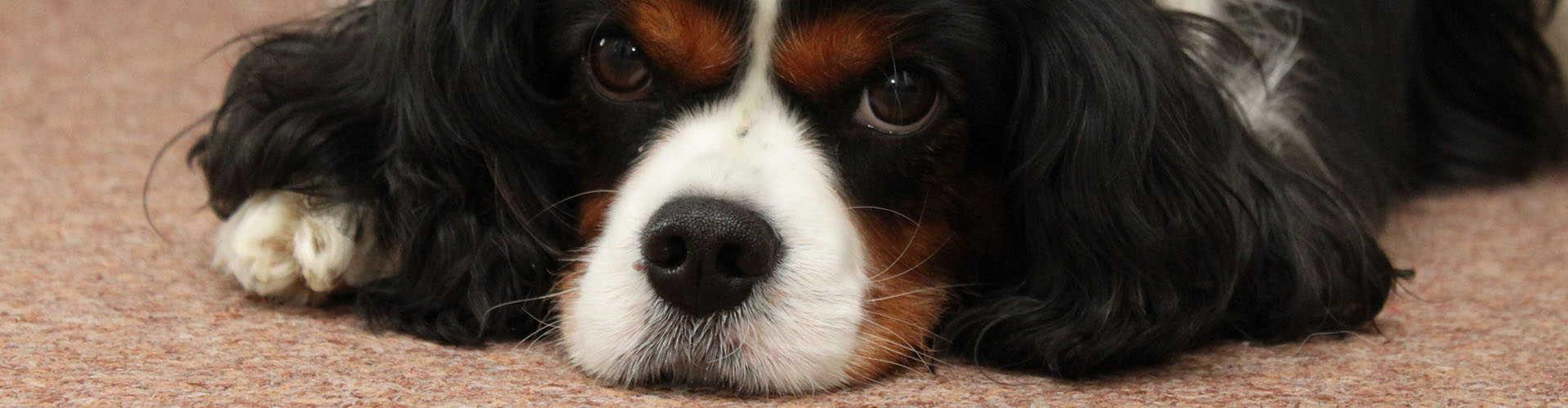 hondvachtklein